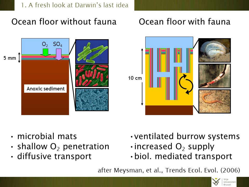 Ocean floor without fauna O2O2 SO 4 Anoxic sediment 5 mm microbial mats shallow O 2 penetration diffusive transport 10 cm ventilated burrow systems increased O 2 supply biol.