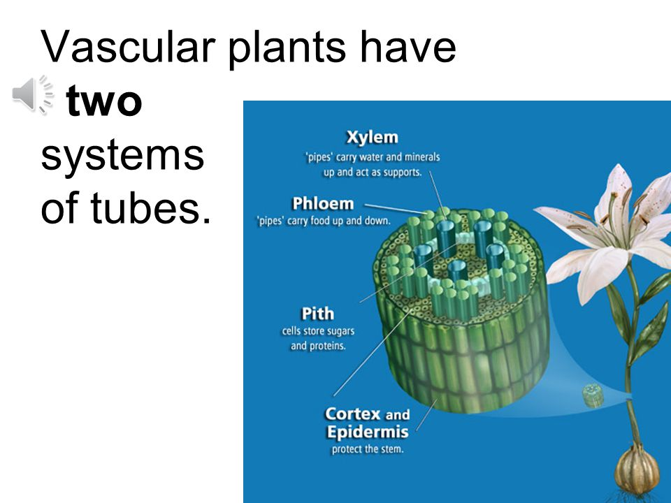 Most plants we see are vascular plants.