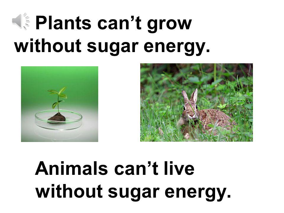 Plants make sugar in their leaves.