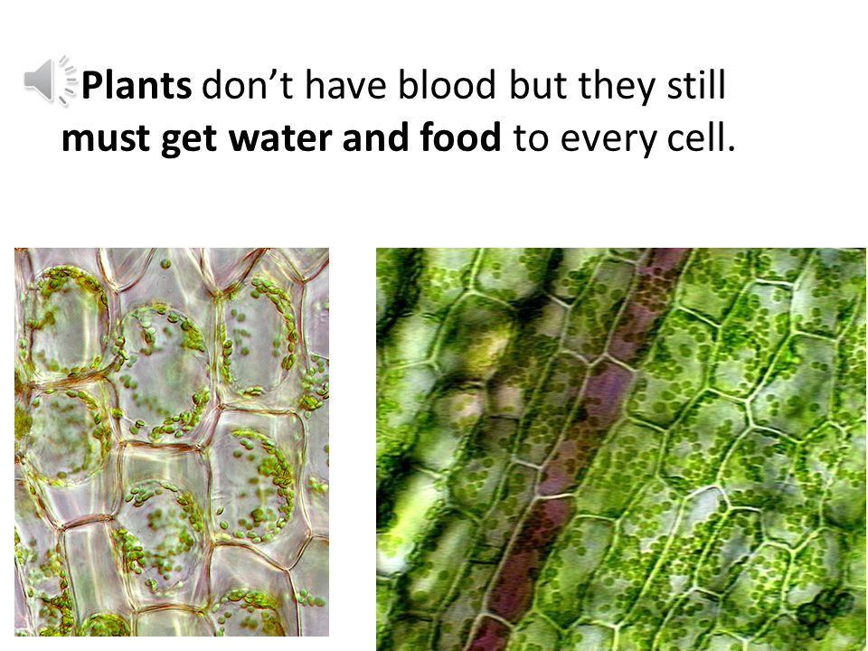 // Plants don't have blood but they still must get water and food to every cell.