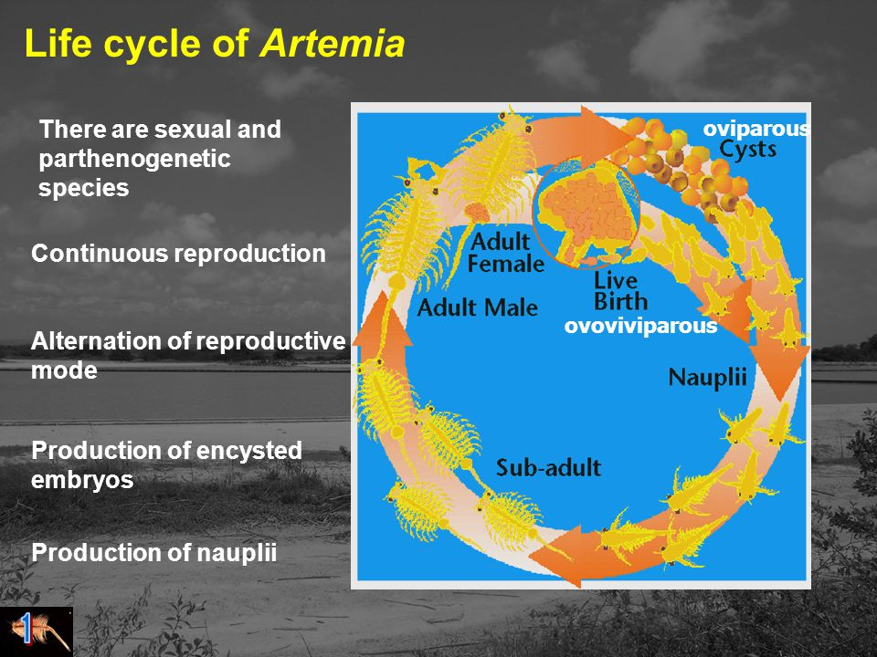 oviparous ovoviviparous Life cycle of Artemia Continuous reproduction Alternation of reproductive mode Production of encysted embryos Production of nauplii There are sexual and parthenogenetic species
