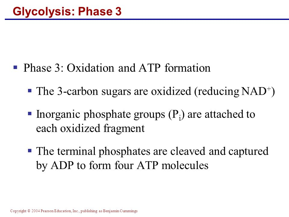 Copyright © 2004 Pearson Education, Inc., publishing as Benjamin Cummings Glycolysis: Phase 3  Phase 3: Oxidation and ATP formation  The 3-carbon sugars are oxidized (reducing NAD + )  Inorganic phosphate groups (P i ) are attached to each oxidized fragment  The terminal phosphates are cleaved and captured by ADP to form four ATP molecules