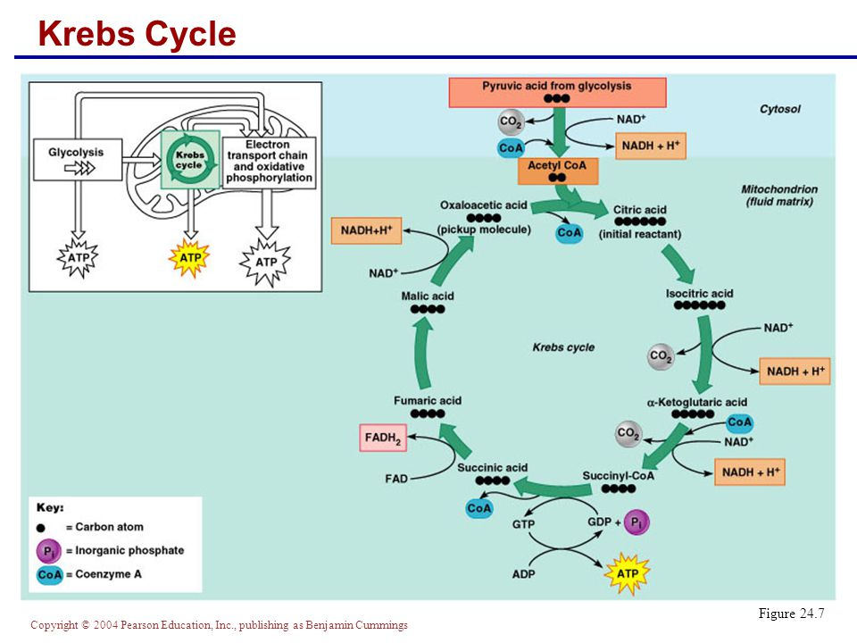 Krebs Cycle Figure 24.7