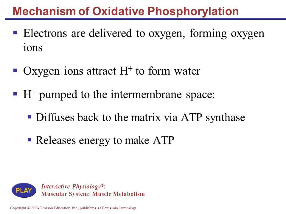 Copyright © 2004 Pearson Education, Inc., publishing as Benjamin Cummings Mechanism of Oxidative Phosphorylation  Electrons are delivered to oxygen, forming oxygen ions  Oxygen ions attract H + to form water  H + pumped to the intermembrane space:  Diffuses back to the matrix via ATP synthase  Releases energy to make ATP InterActive Physiology ® : Muscular System: Muscle Metabolism PLAY