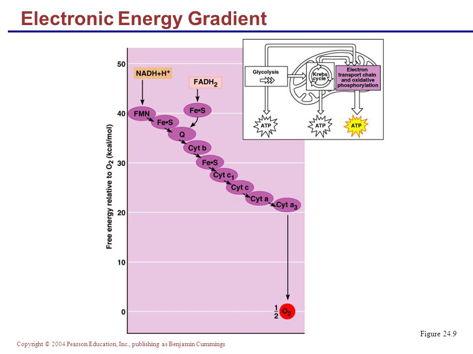 Copyright © 2004 Pearson Education, Inc., publishing as Benjamin Cummings Electronic Energy Gradient Figure 24.9