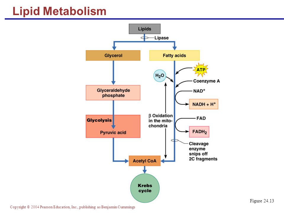 Copyright © 2004 Pearson Education, Inc., publishing as Benjamin Cummings Lipid Metabolism Figure 24.13