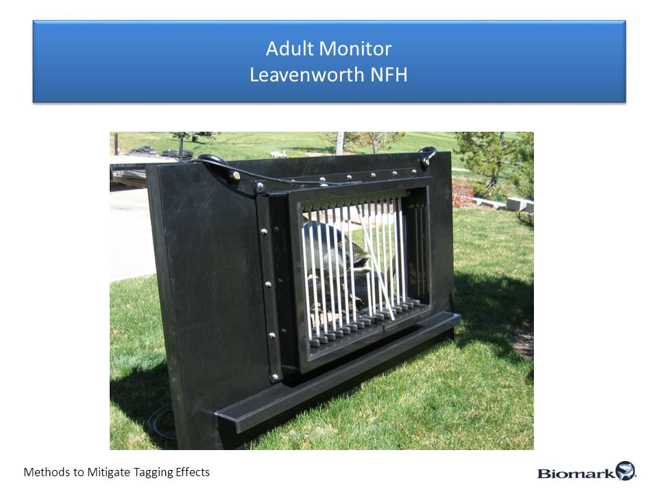 Adult Monitor Leavenworth NFH Methods to Mitigate Tagging Effects
