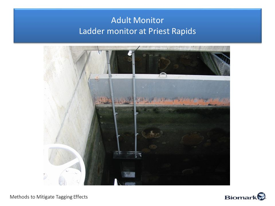 Adult Monitor Ladder monitor at Priest Rapids Methods to Mitigate Tagging Effects