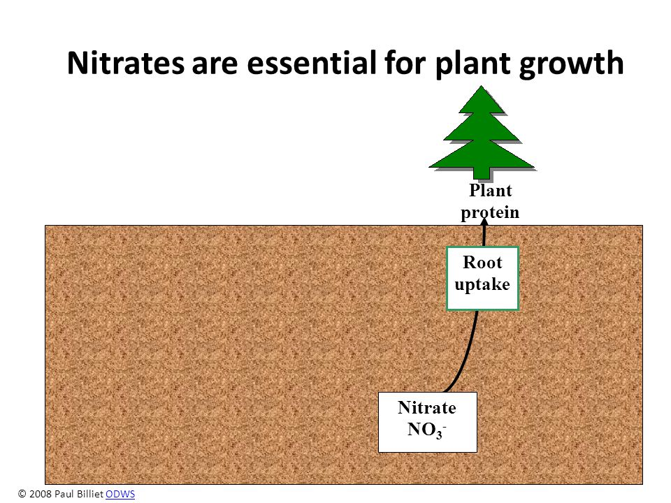 Nitrates are essential for plant growth Root uptake Nitrate NO 3 - Plant protein © 2008 Paul Billiet ODWSODWS