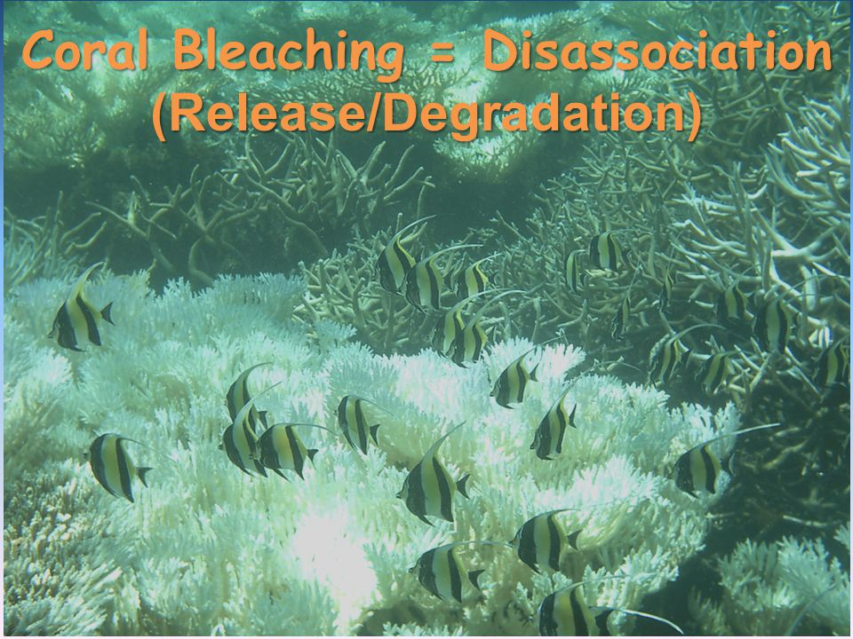 In 2009, intra-specific and inter-specific differential bleaching/mortality were exhibited by reef-building corals in Mauritius due to a thermal anomaly event (Bhagooli & Sheppard 2012).
