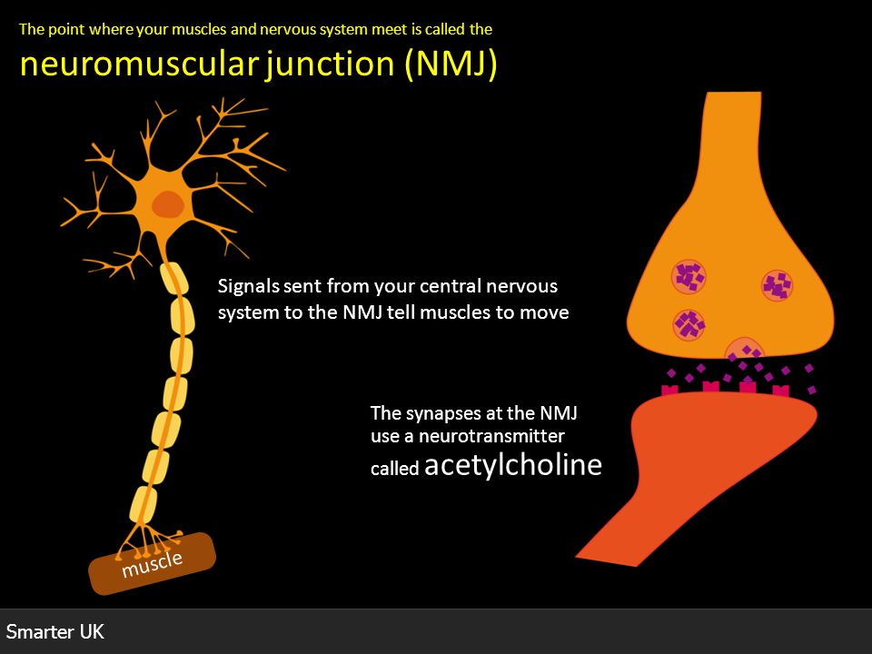 Smarter UK The point where your muscles and nervous system meet is called the neuromuscular junction (NMJ) muscle Signals sent from your central nervo
