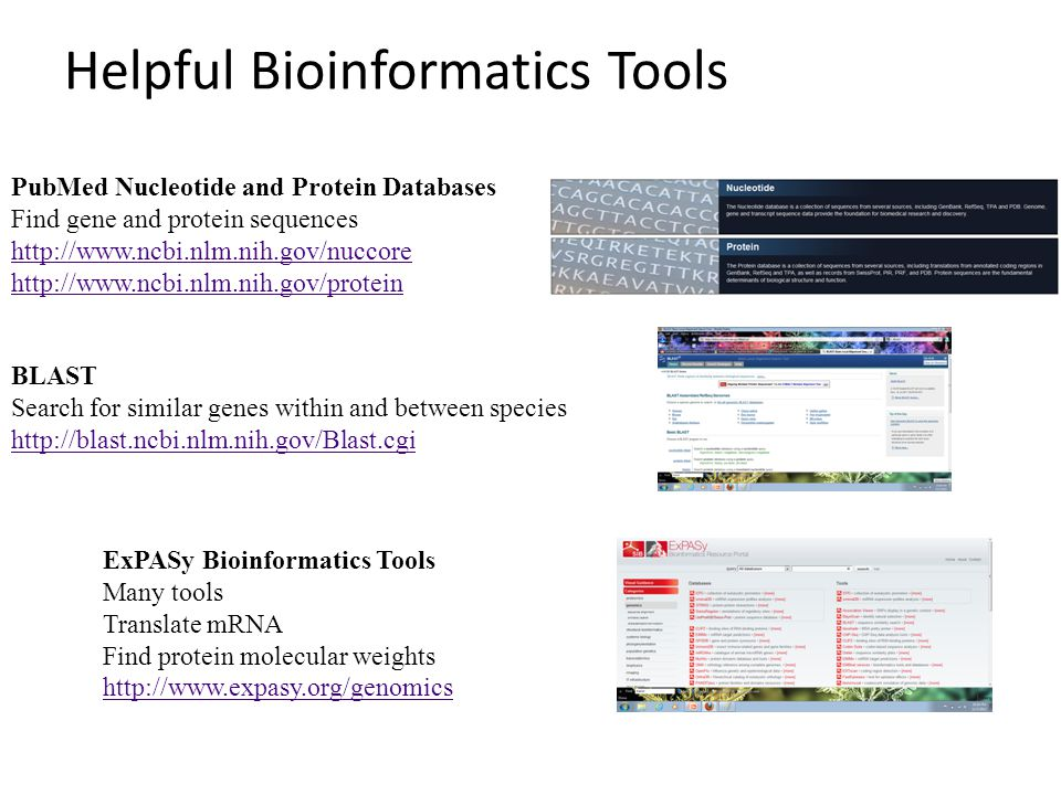 Helpful Bioinformatics Tools ExPASy Bioinformatics Tools Many tools Translate mRNA Find protein molecular weights http://www.expasy.org/genomics BLAST Search for similar genes within and between species http://blast.ncbi.nlm.nih.gov/Blast.cgi PubMed Nucleotide and Protein Databases Find gene and protein sequences http://www.ncbi.nlm.nih.gov/nuccore http://www.ncbi.nlm.nih.gov/protein