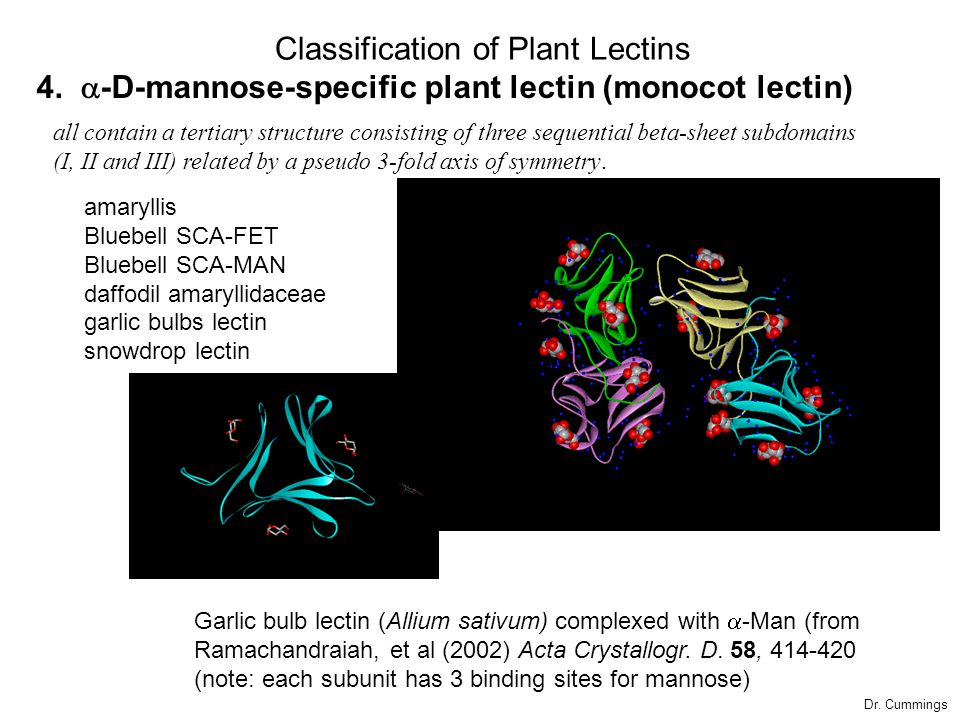 4.  -D-mannose-specific plant lectin (monocot lectin) amaryllis Bluebell SCA-FET Bluebell SCA-MAN daffodil amaryllidaceae garlic bulbs lectin snowdro