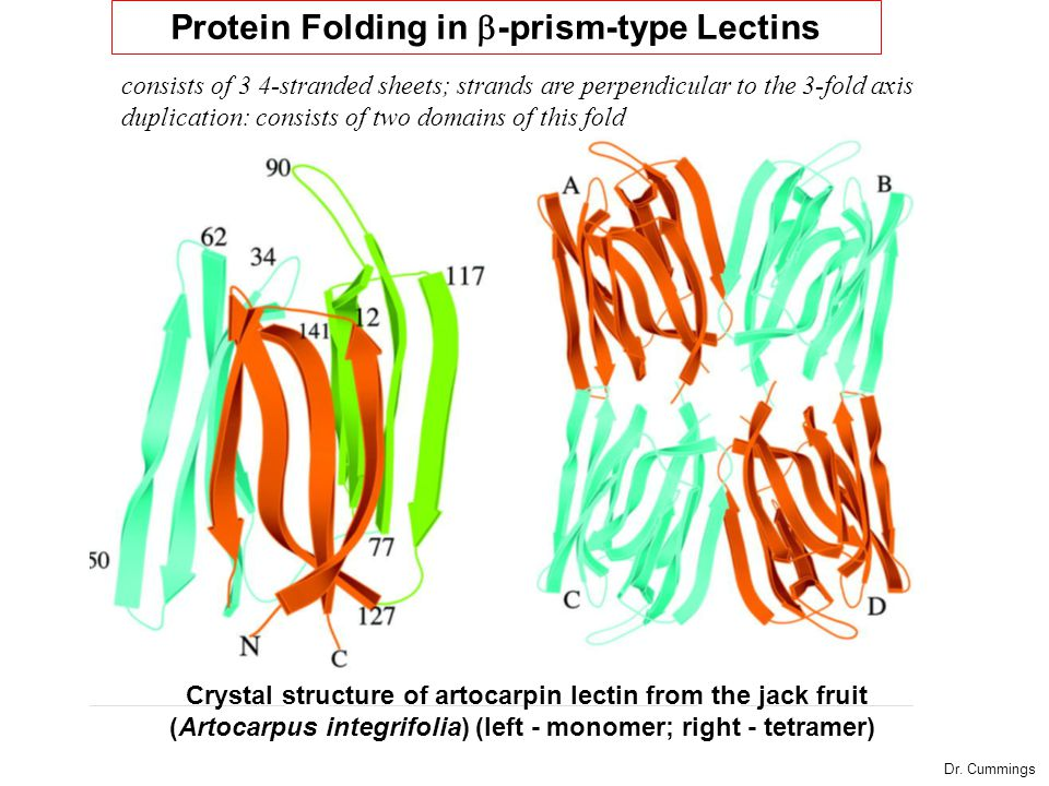 Crystal structure of artocarpin lectin from the jack fruit (Artocarpus integrifolia) (left - monomer; right - tetramer) Protein Folding in  -prism-type Lectins consists of 3 4-stranded sheets; strands are perpendicular to the 3-fold axis duplication: consists of two domains of this fold Dr.
