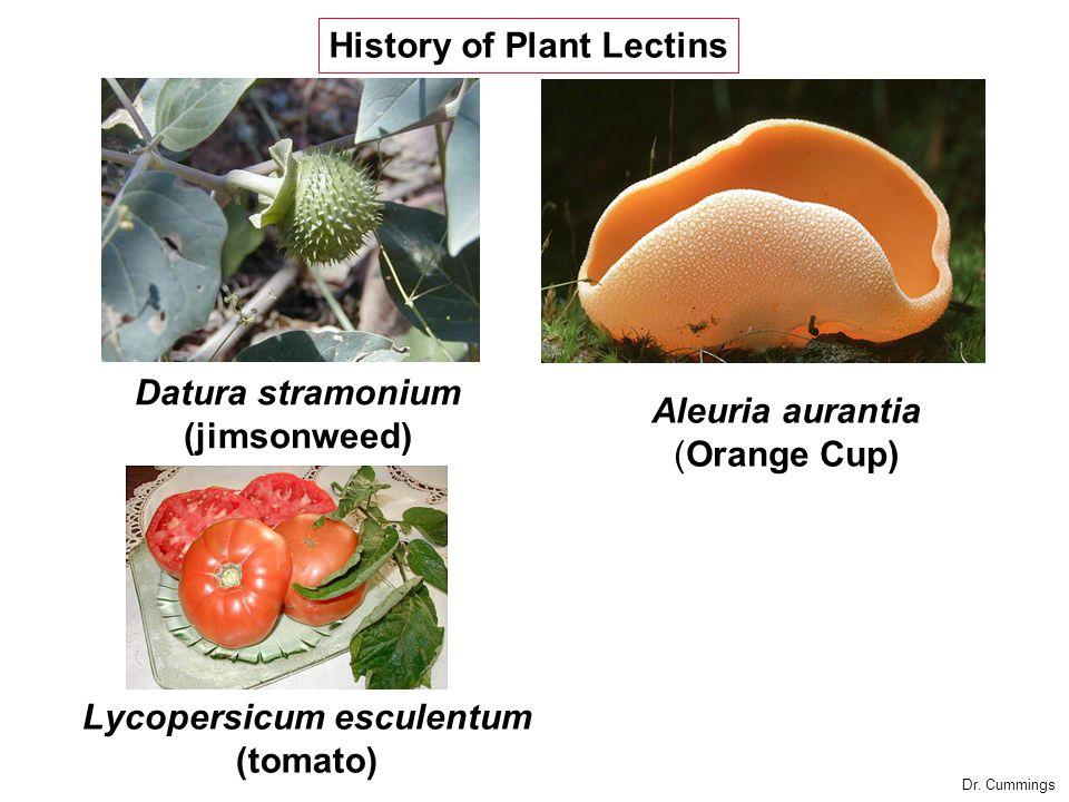 Aleuria aurantia (Orange Cup) Lycopersicum esculentum (tomato) Datura stramonium (jimsonweed) History of Plant Lectins Dr.