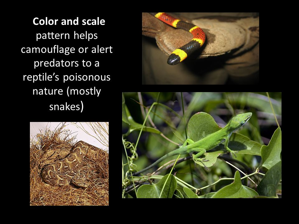 SNAKES -Limbless (ancestors adapted to a burrowing lifestyle) -Venom helps protect them or immobilize and kill pray