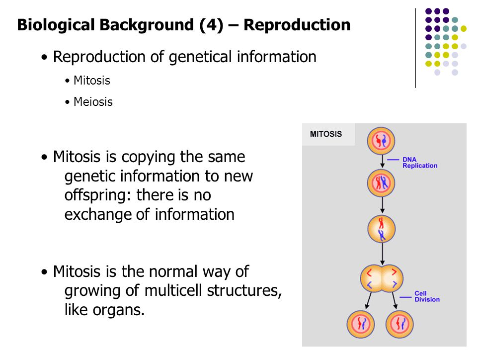 Biological Background (4) – Reproduction Reproduction of genetical information Mitosis Meiosis Mitosis is copying the same genetic information to new