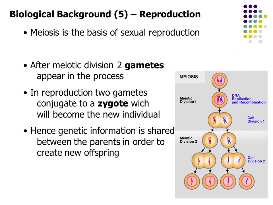 Biological Background (6) – Reproduction During reproduction errors occur Due to these errors genetic variation exists Most important errors are: Recombination (cross-over) Mutation