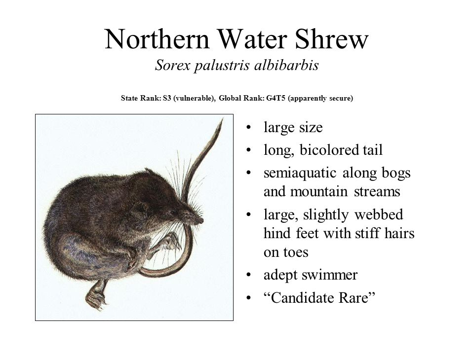 Northern Water Shrew Sorex palustris albibarbis State Rank: S3 (vulnerable), Global Rank: G4T5 (apparently secure) large size long, bicolored tail semiaquatic along bogs and mountain streams large, slightly webbed hind feet with stiff hairs on toes adept swimmer Candidate Rare