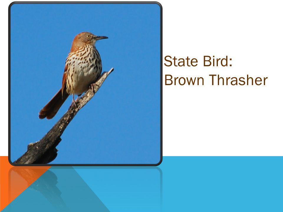 State Bird: Brown Thrasher