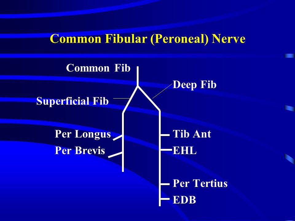 Common Fibular (Peroneal) Nerve Common Fib Deep Fib Superficial Fib Per LongusTib Ant Per BrevisEHL Per Tertius EDB