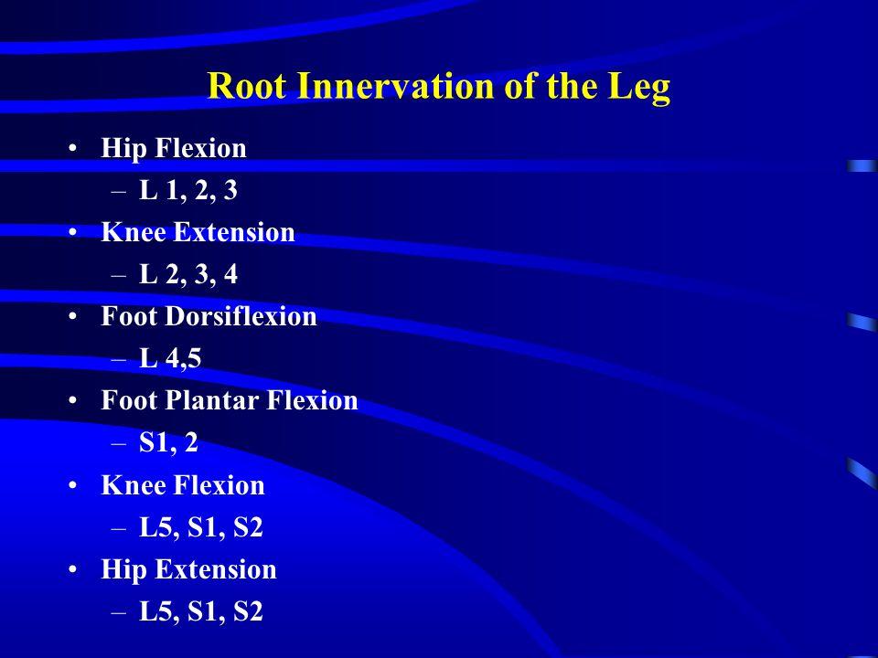 Root Innervation of the Leg Hip Flexion –L 1, 2, 3 Knee Extension –L 2, 3, 4 Foot Dorsiflexion –L 4,5 Foot Plantar Flexion –S1, 2 Knee Flexion –L5, S1, S2 Hip Extension –L5, S1, S2
