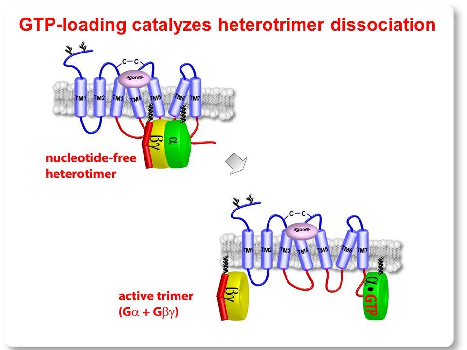 GTP-loading catalyzes heterotrimer dissociation