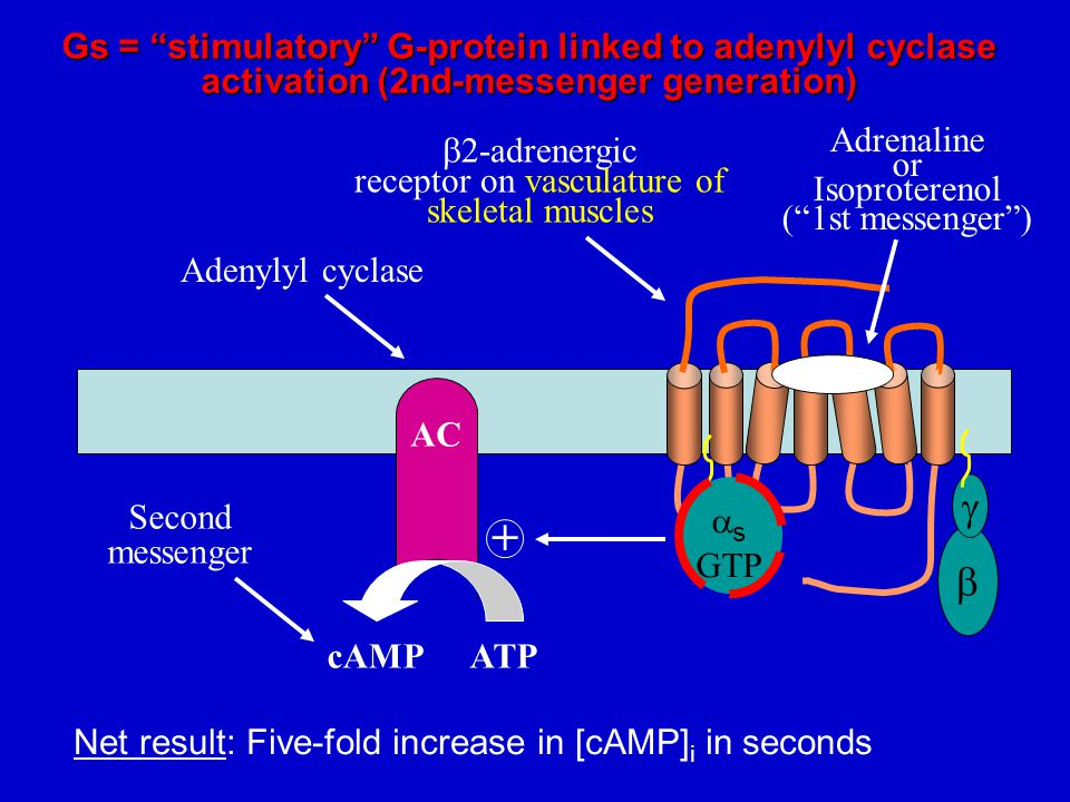 Gs = stimulatory G-protein linked to adenylyl cyclase activation (2nd-messenger generation)  s GTP   AC Adenylyl cyclase  2-adrenergic receptor on vasculature of skeletal muscles Adrenaline or Isoproterenol ( 1st messenger ) + ATPcAMP Second messenger Net result: Five-fold increase in [cAMP] i in seconds