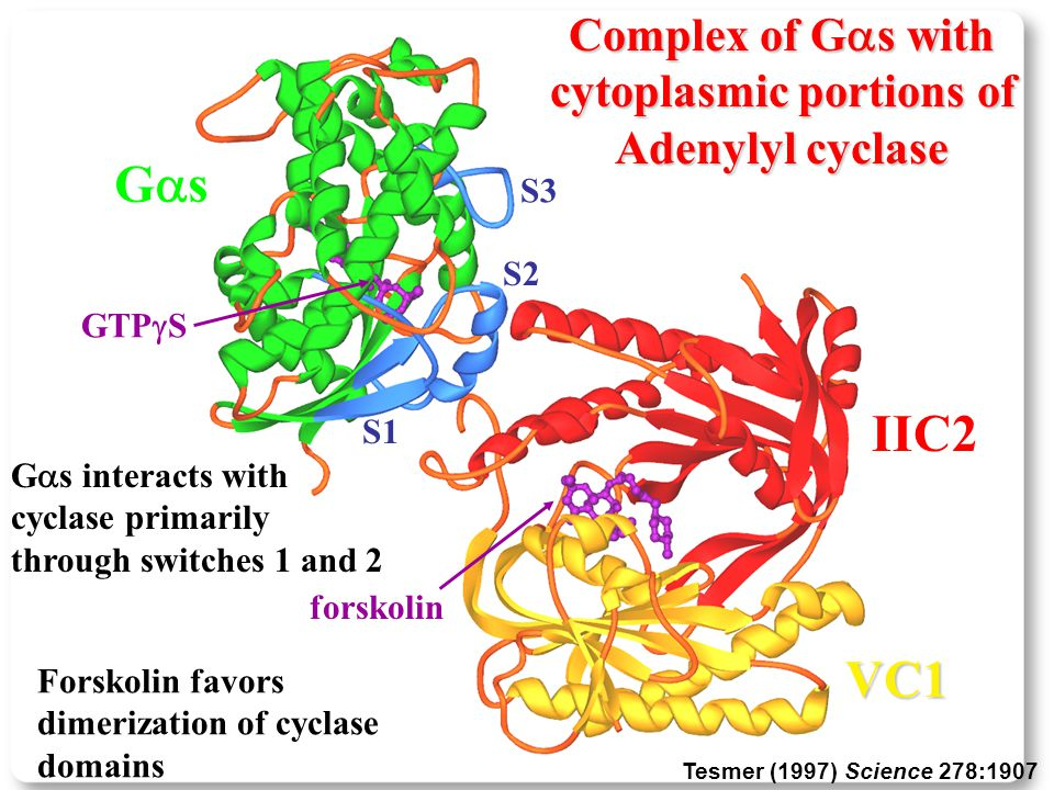S3 S2 S1 GsGs IIC2 VC1 forskolin GTP  S Forskolin favors dimerization of cyclase domains G  s interacts with cyclase primarily through switches 1 and 2 Complex of G  s with cytoplasmic portions of Adenylyl cyclase Tesmer (1997) Science 278:1907