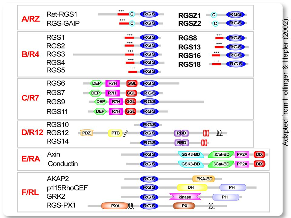 Adapted from Hollinger & Hepler (2002). The R7 family