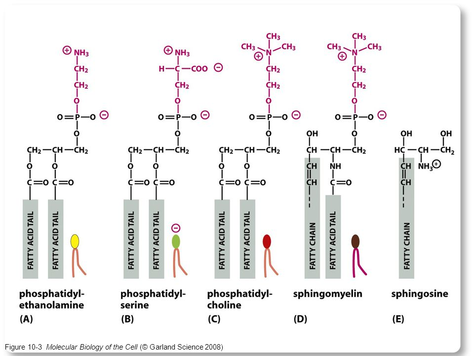 Figure 10-3 Molecular Biology of the Cell (© Garland Science 2008)