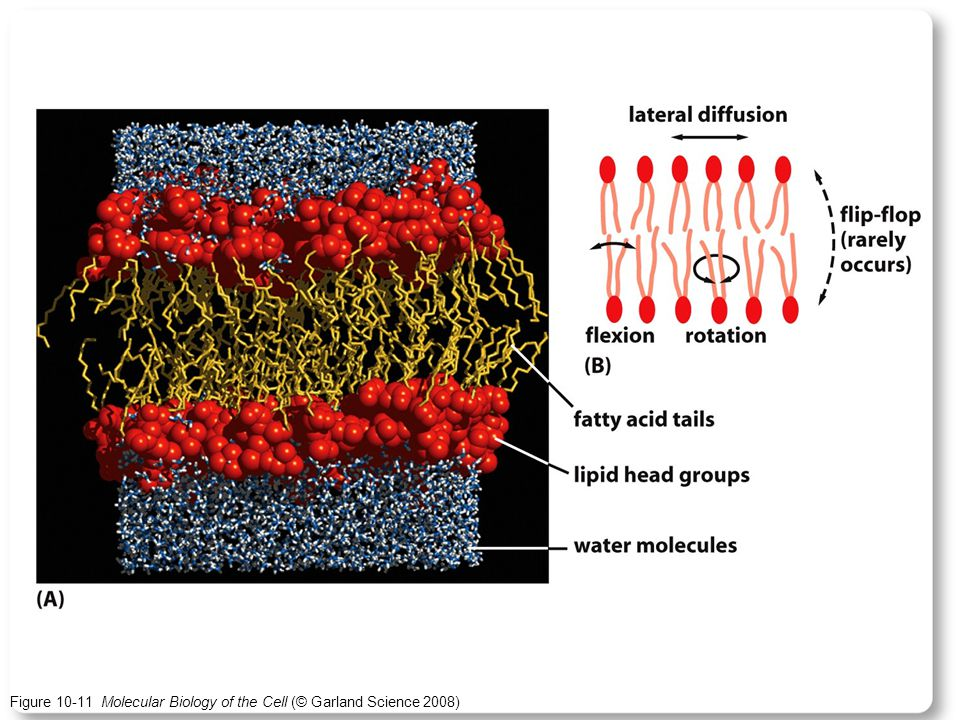 Figure 10-11 Molecular Biology of the Cell (© Garland Science 2008)