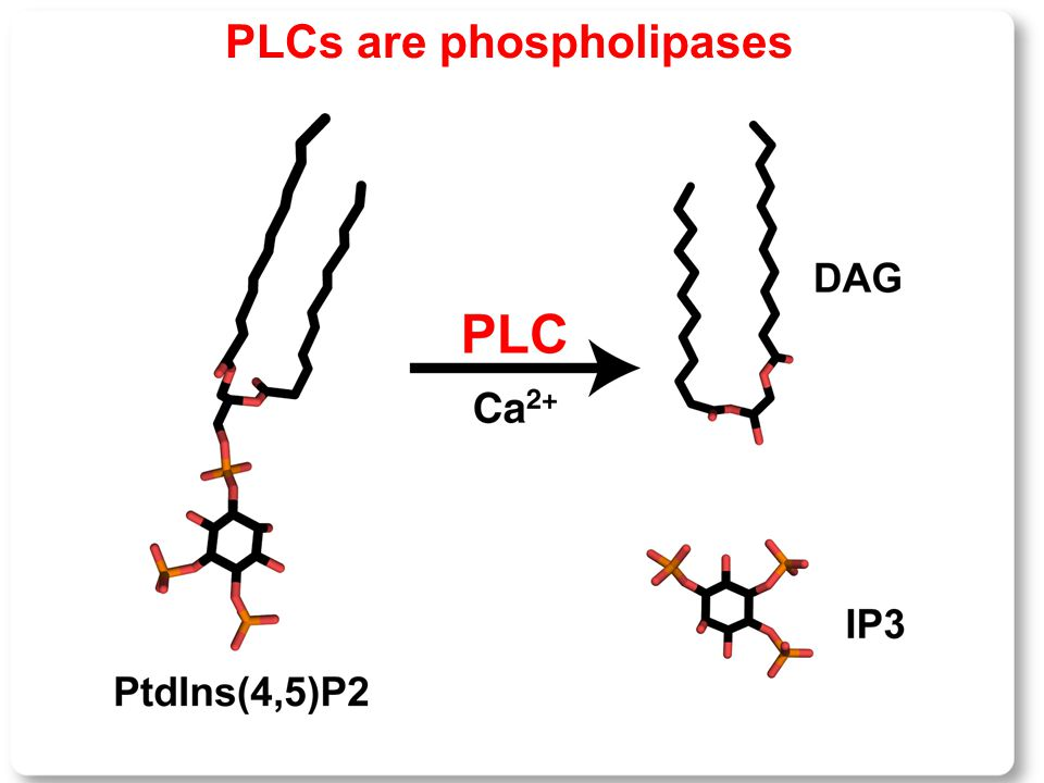 PLCs are phospholipases