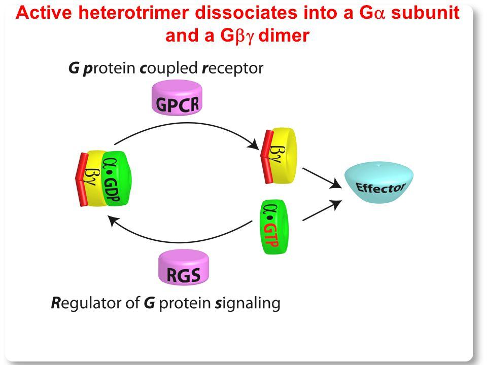 Active heterotrimer dissociates into a G  subunit and a G  dimer