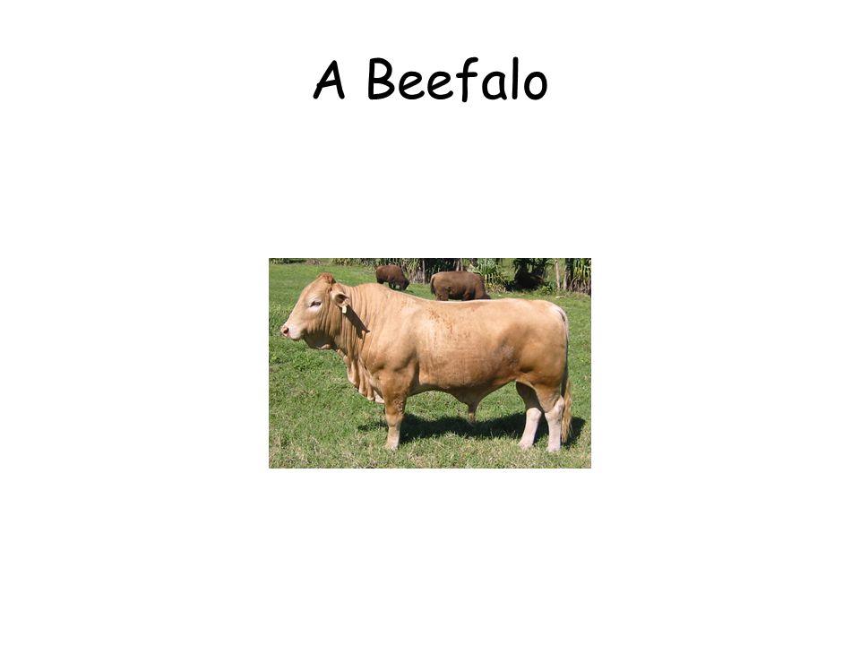 A Beefalo