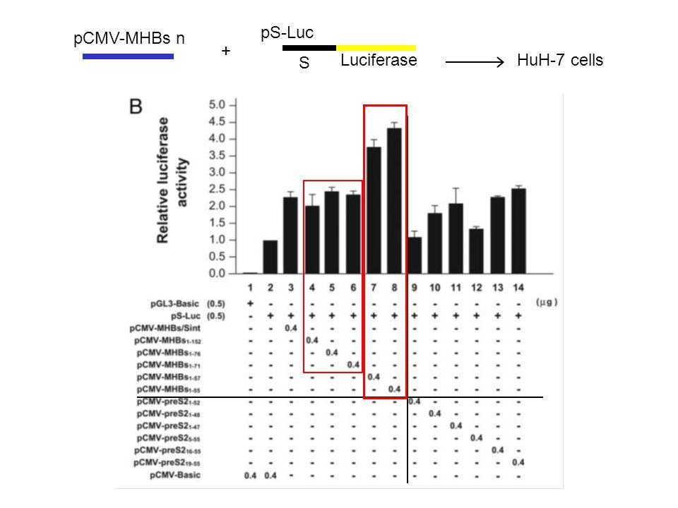 HuH-7 cells pS-Luc S Luciferase pCMV-MHBs n +