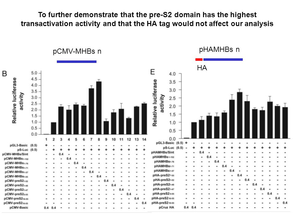 pCMV-MHBs n pHAMHBs n To further demonstrate that the pre-S2 domain has the highest transactivation activity and that the HA tag would not affect our