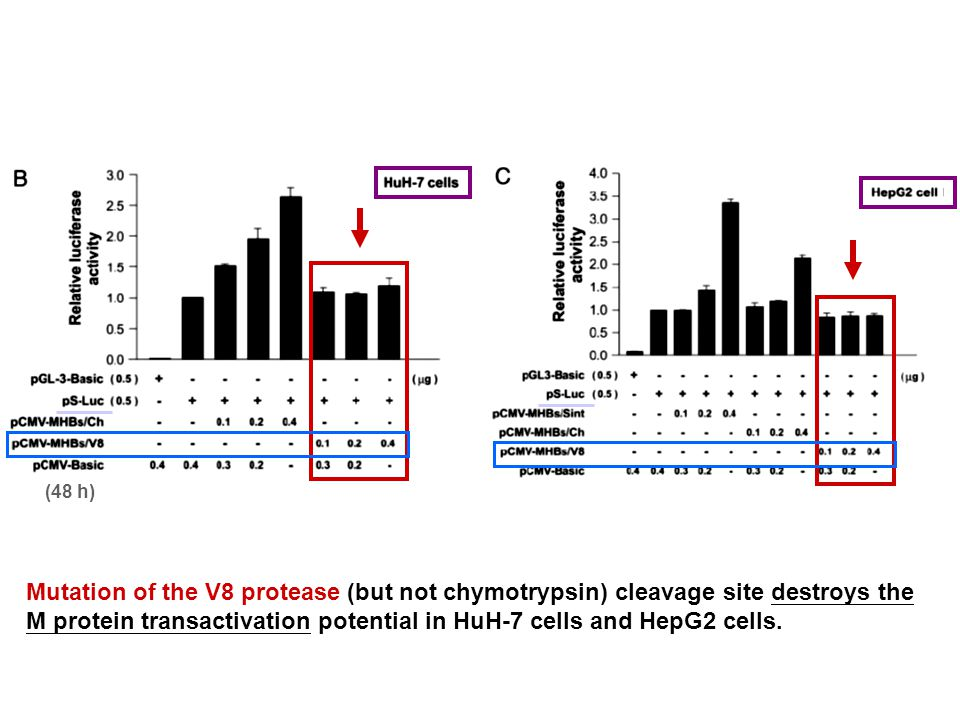 Mutation of the V8 protease (but not chymotrypsin) cleavage site destroys the M protein transactivation potential in HuH-7 cells and HepG2 cells.