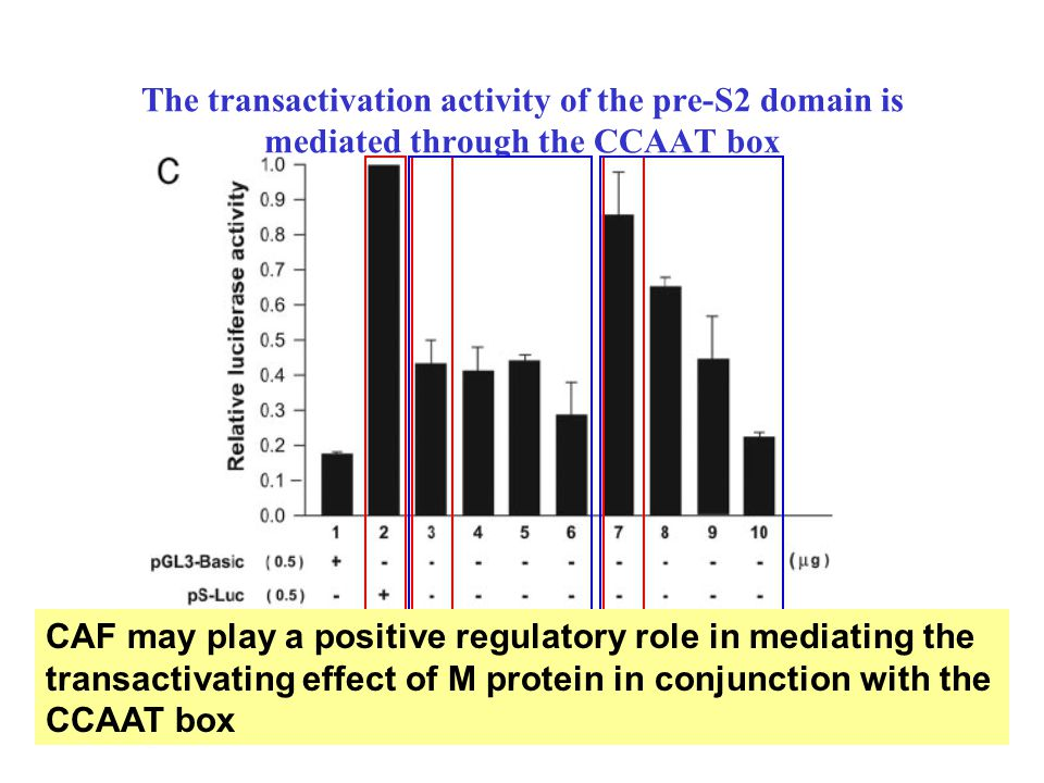The transactivation activity of the pre-S2 domain is mediated through the CCAAT box CAF may play a positive regulatory role in mediating the transactivating effect of M protein in conjunction with the CCAAT box