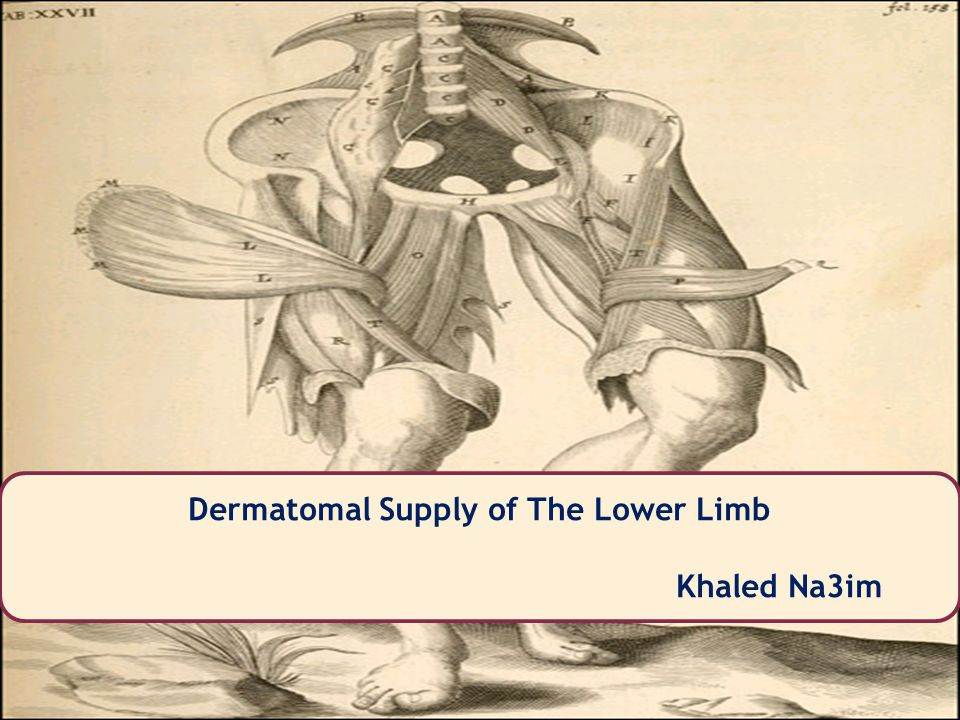 Khaled Na3im Dermatomal Supply of The Lower Limb Khaled Na3im