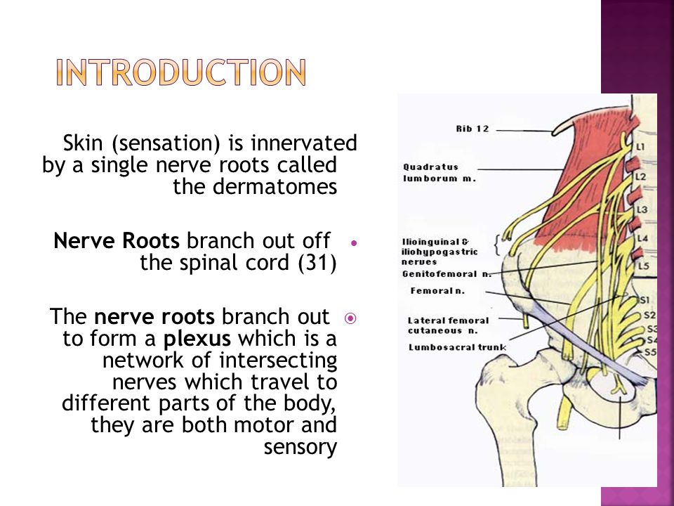 Skin (sensation) is innervated by a single nerve roots called the dermatomes  Nerve Roots branch out off the spinal cord (31)  The nerve roots branch out to form a plexus which is a network of intersecting nerves which travel to different parts of the body, they are both motor and sensory