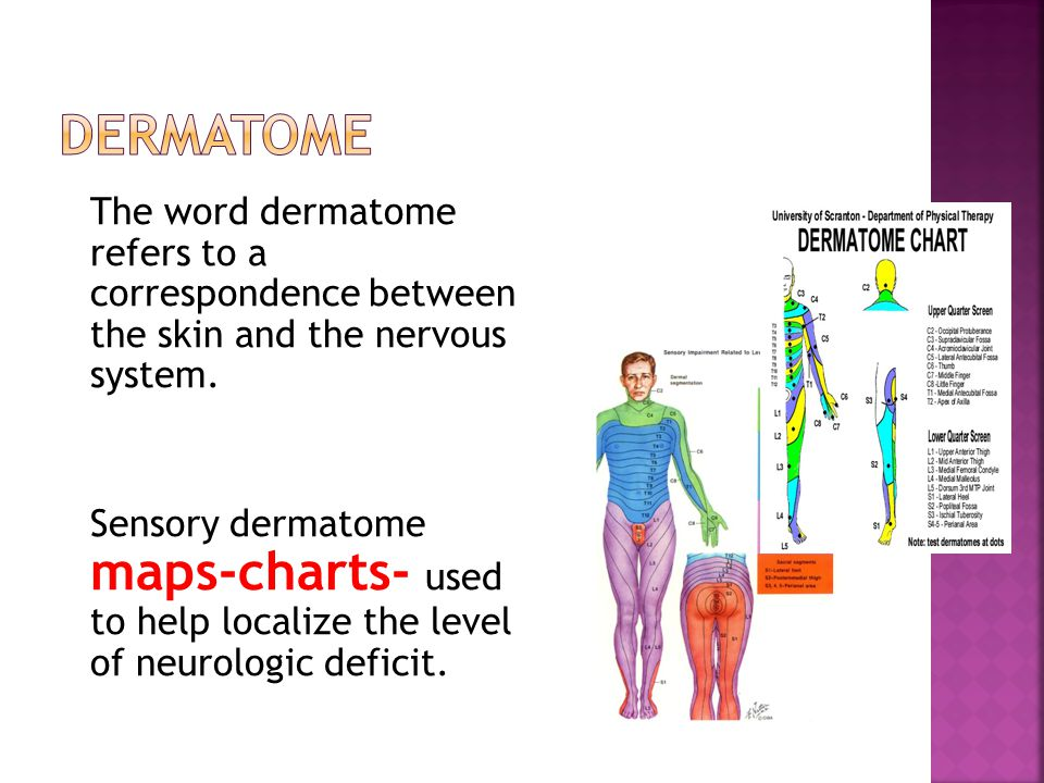 The word dermatome refers to a correspondence between the skin and the nervous system.