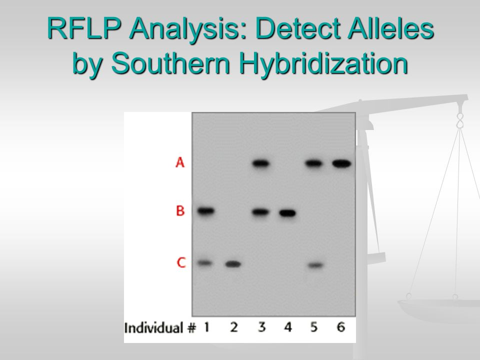 RFLP ANALYSIS: Detect Alleles by Southern Blot Hybridization Analysis of VNTR locus by Southern blot most commonly results in two-band pattern, comprised of a band inherited from each parent Analysis of VNTR locus by Southern blot most commonly results in two-band pattern, comprised of a band inherited from each parent Single band patterns possible with 2 alleles of same size Single band patterns possible with 2 alleles of same size For 3 different alleles, six different genotypes possible For 3 different alleles, six different genotypes possible
