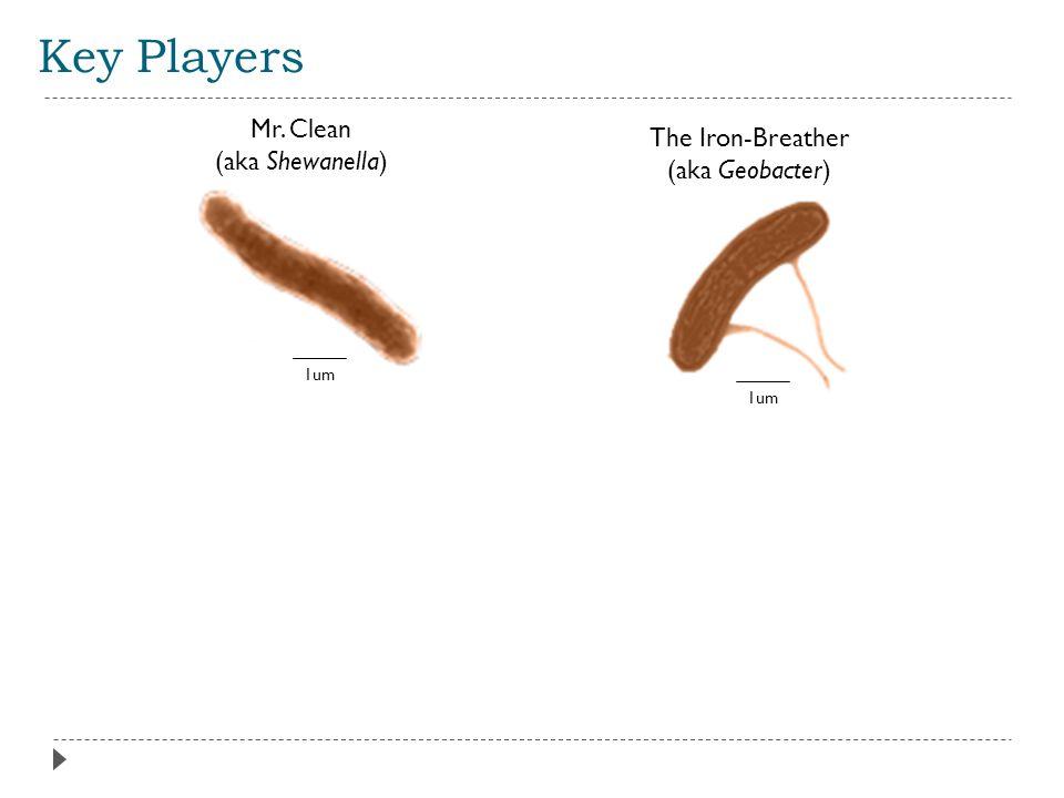 Key Players Mr. Clean (aka Shewanella) The Iron-Breather (aka Geobacter) 1um