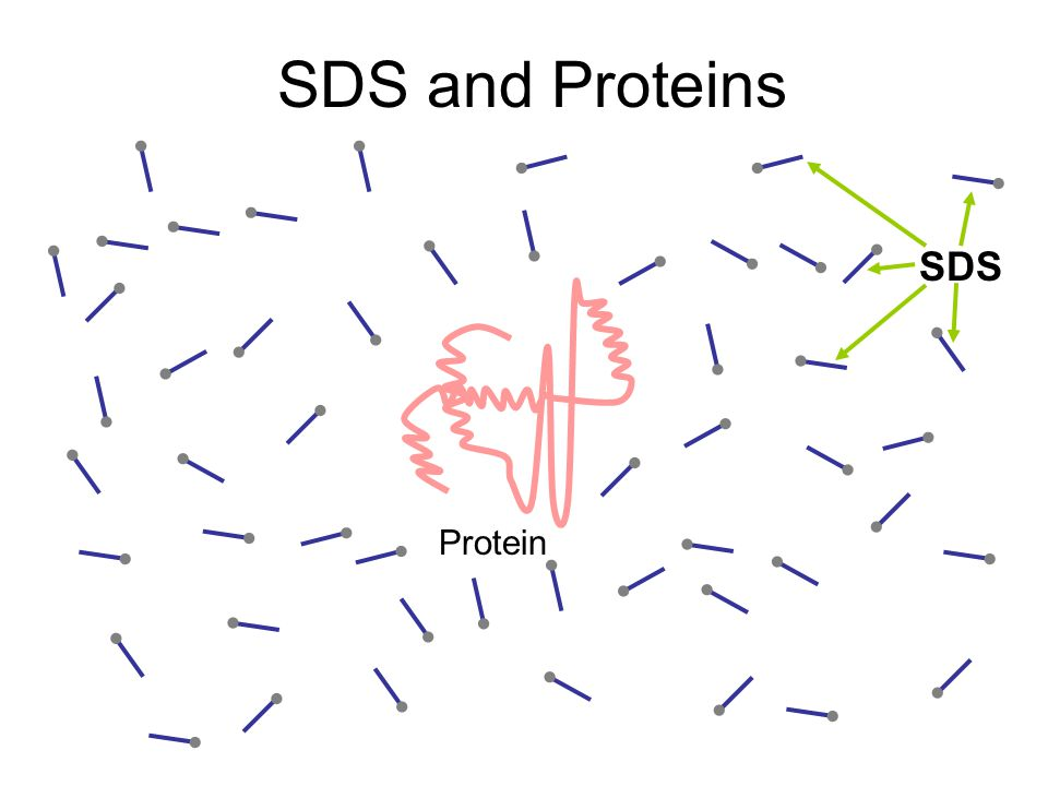 SDS and Proteins SDS Protein
