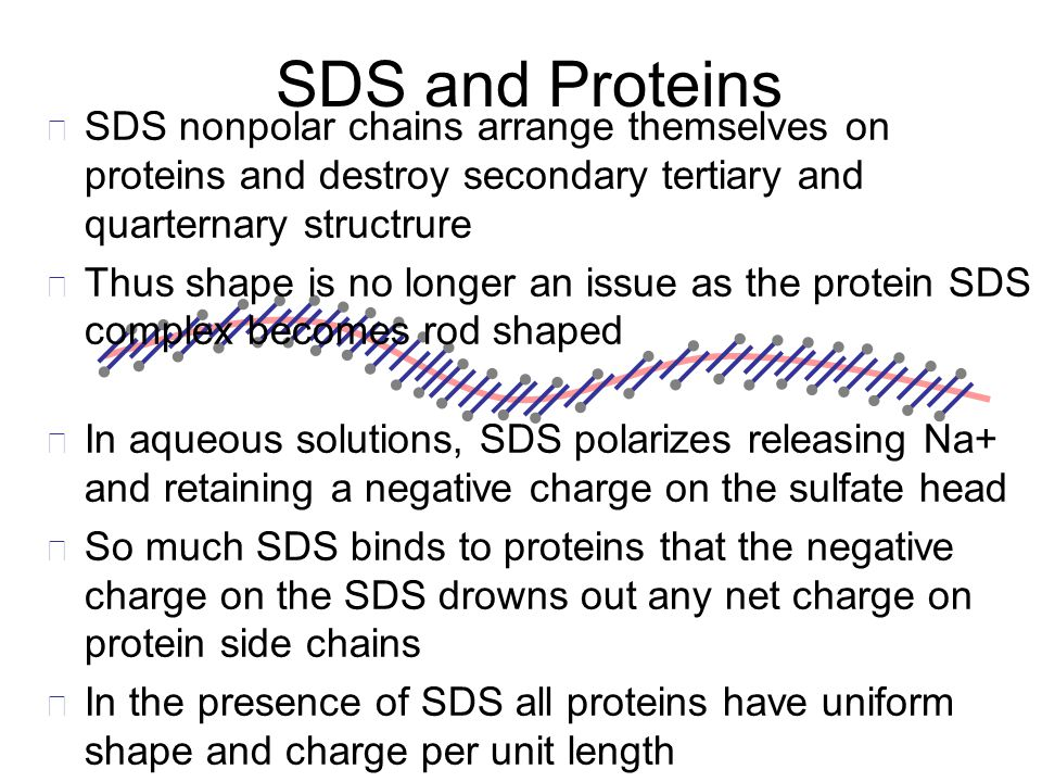 SDS and Proteins In aqueous solutions, SDS polarizes releasing Na+ and retaining a negative charge on the sulfate head So much SDS binds to proteins t