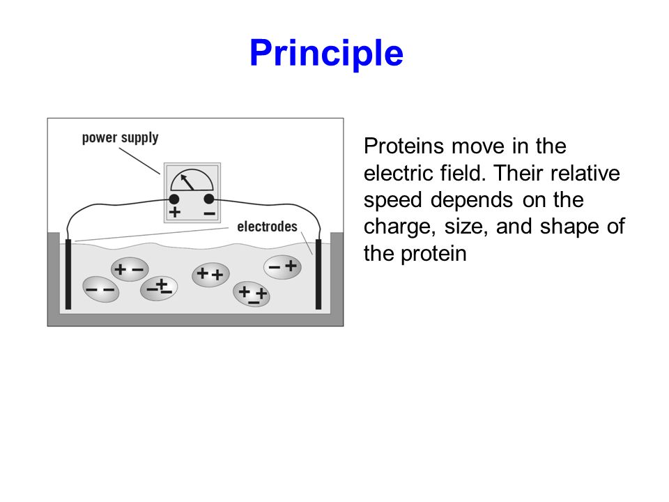 Principle Proteins move in the electric field. Their relative speed depends on the charge, size, and shape of the protein