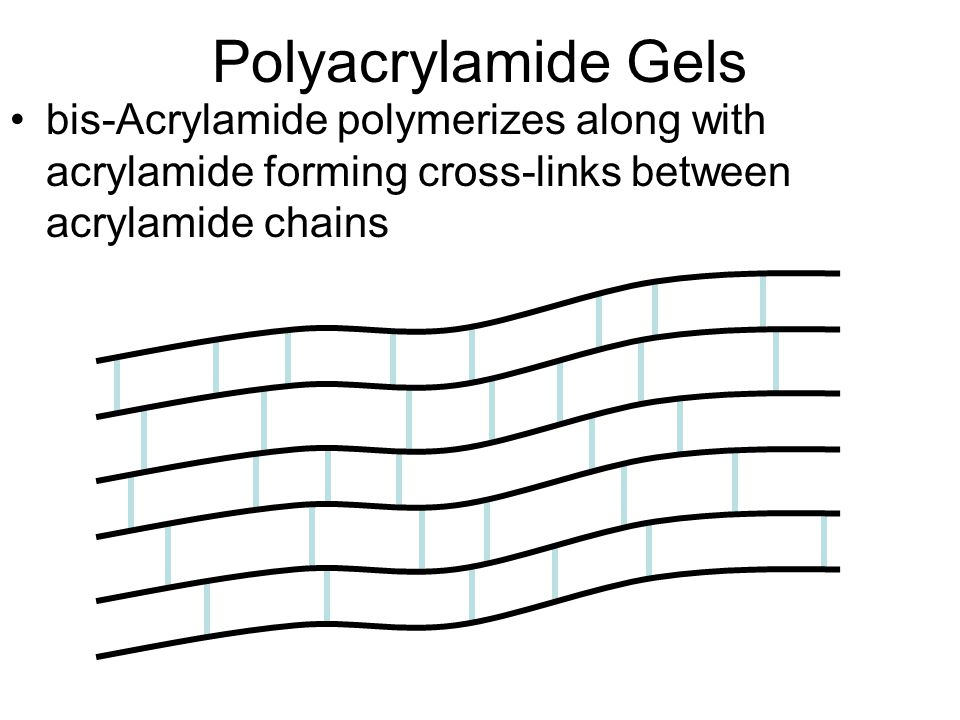 Polyacrylamide Gels bis-Acrylamide polymerizes along with acrylamide forming cross-links between acrylamide chains