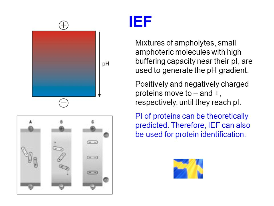 IEF Mixtures of ampholytes, small amphoteric molecules with high buffering capacity near their pI, are used to generate the pH gradient. Positively an