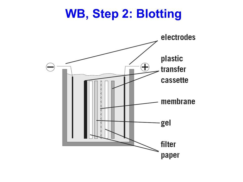 WB, Step 2: Blotting